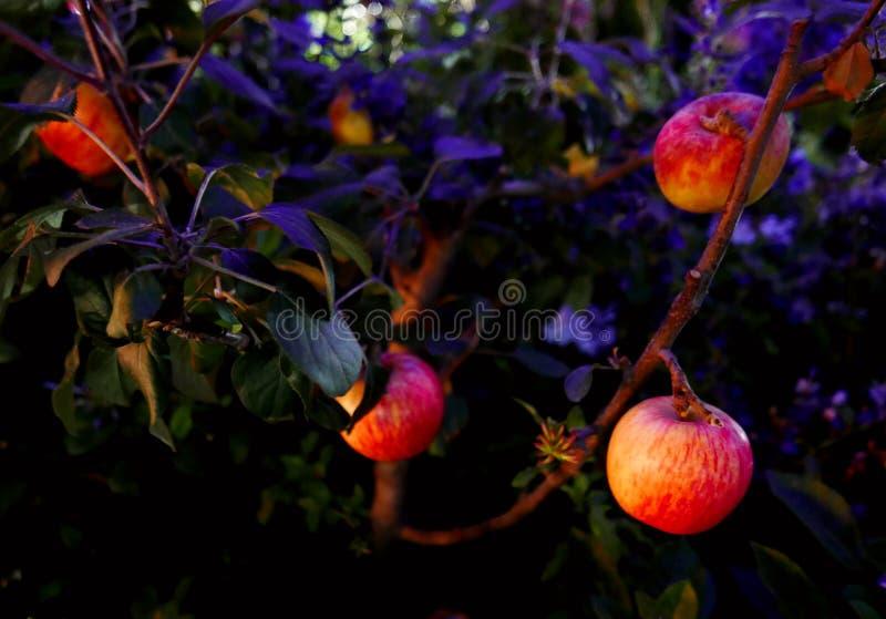 Äpfel auf Baum nachts stockfotos