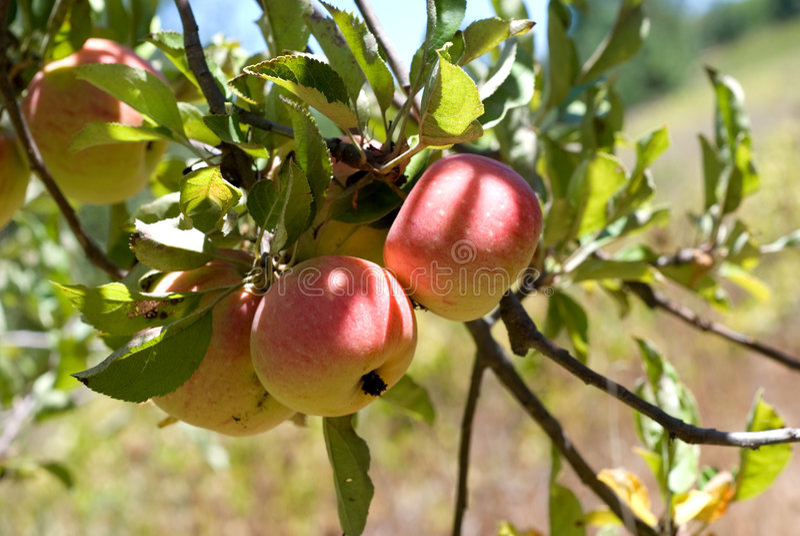 Äpfel auf dem Baum stockbilder