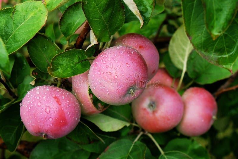 Äpfel auf dem Baum lizenzfreie stockfotos