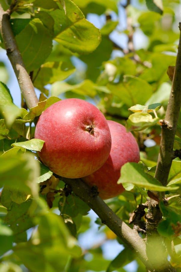 Äpfel auf dem Zweig stockfotos