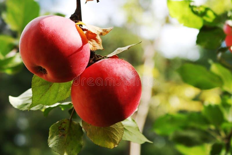 Äpfel auf dem Zweig. stockfotografie