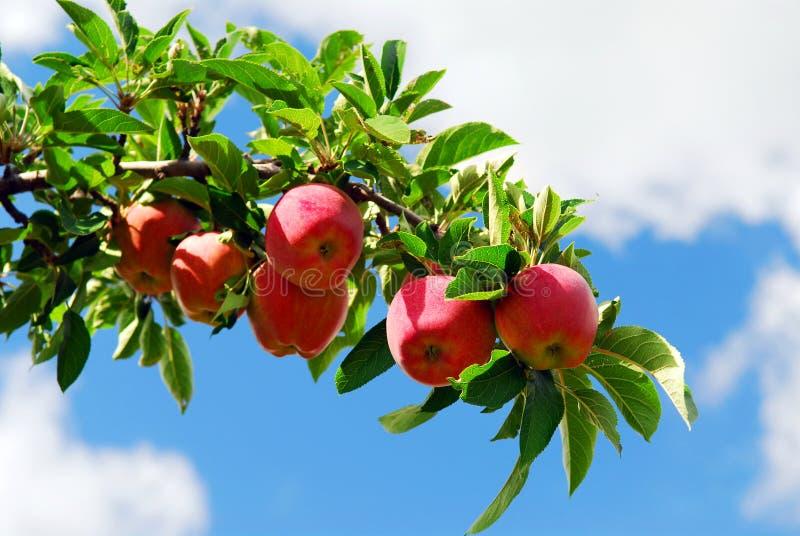 Äpfel auf einem Zweig lizenzfreies stockbild