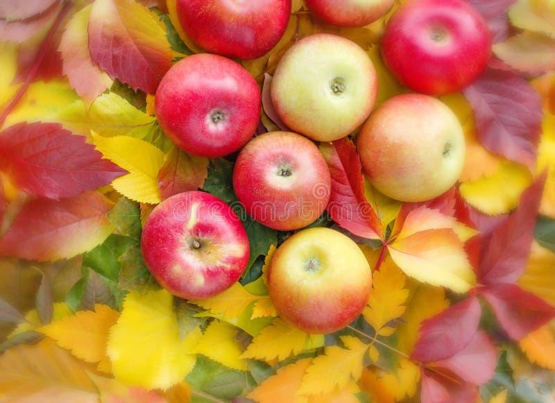 Äpfel auf Herbstblättern lizenzfreies stockbild