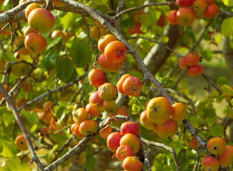 Äpfel auf Niederlassungen des Apfelbaums lizenzfreies stockfoto