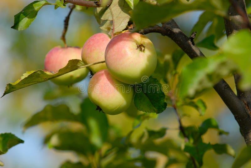Äpfel auf Zweig lizenzfreies stockfoto