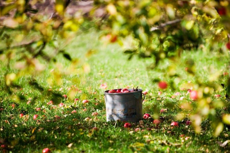 Äpfel in der Wanne stockbild