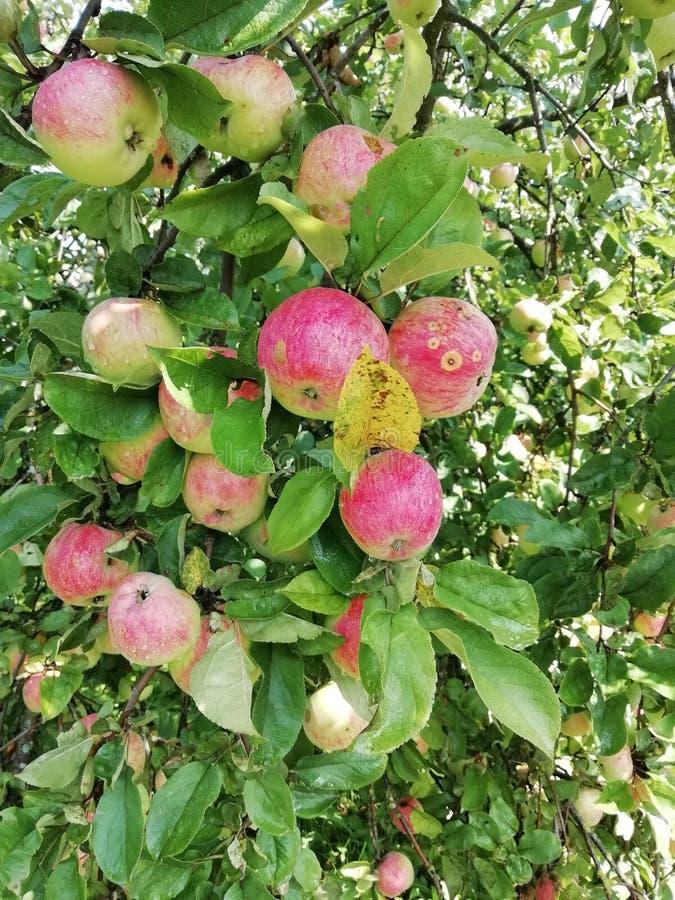 Äpfel, die auf dem bereiten bereiten des Baums zur Ernte wachsen lizenzfreies stockbild