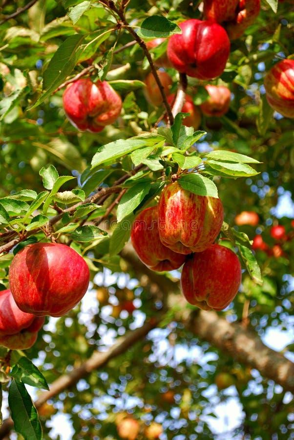 Äpfel in einem Apfelbaum lizenzfreies stockbild