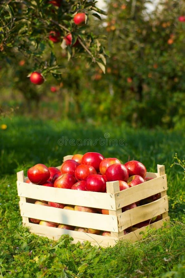 Äpfel im Obstgarten stockbild