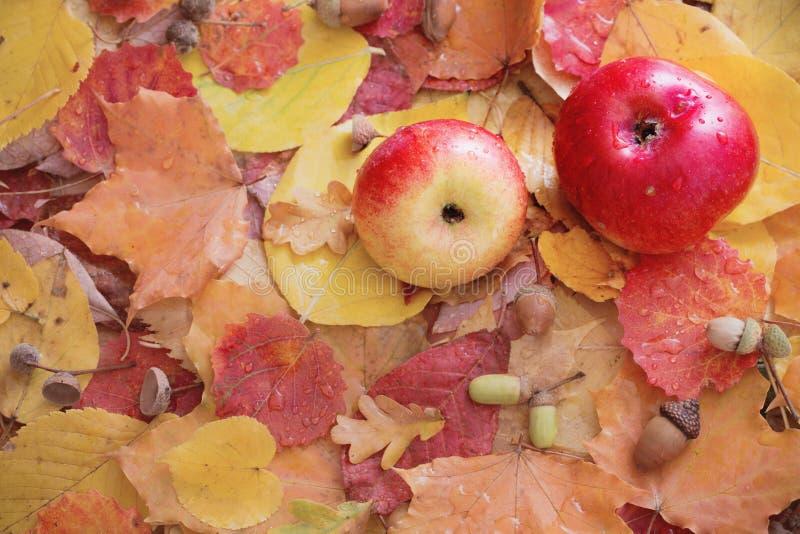 Äpfel und Herbstlaub mit Regentropfen stockfotografie