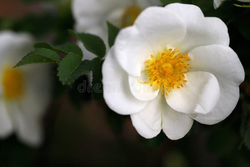 Äppelrosen för törnbuske för den vita Rosa rubiginosaen steg den söta fotografering för bildbyråer