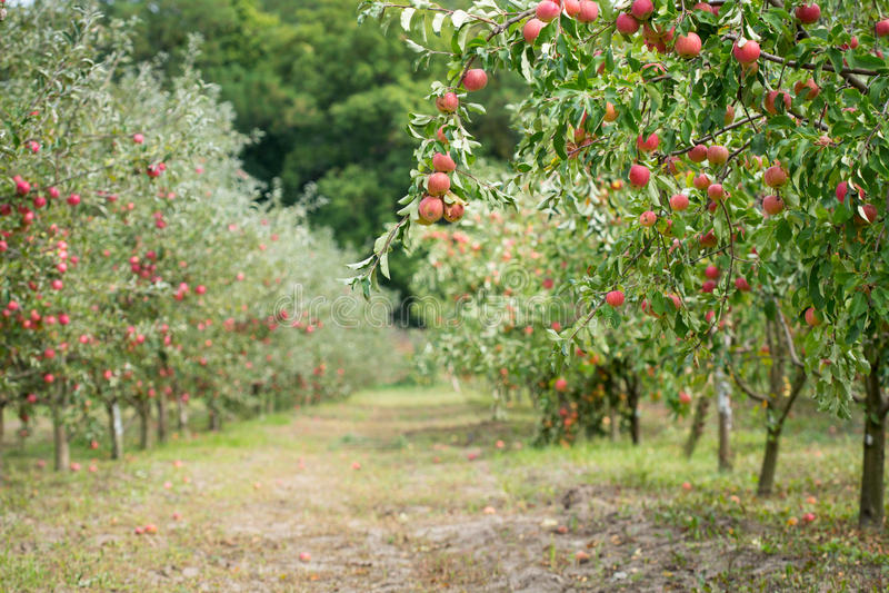 äppleäpplefilialen bär fruktt leavesfruktträdgården arkivfoton