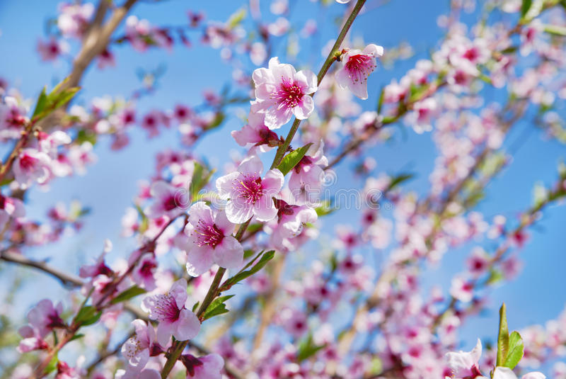äppleäpplefilialen bär fruktt leavesfruktträdgården Blomningträd över naturbakgrund just rained Bakgrund arkivfoton