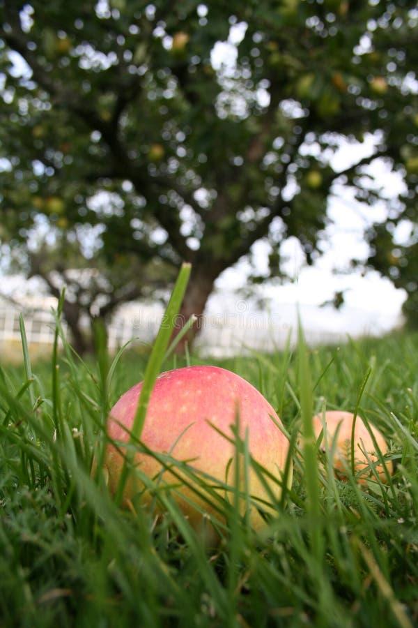Download äpple fotografering för bildbyråer. Bild av utomhus, rött - 230653