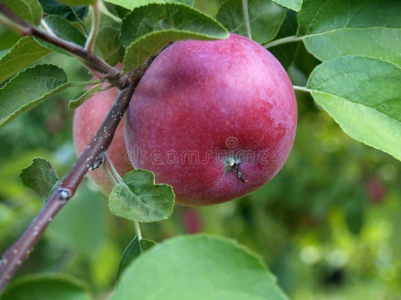 äpple royaltyfri foto