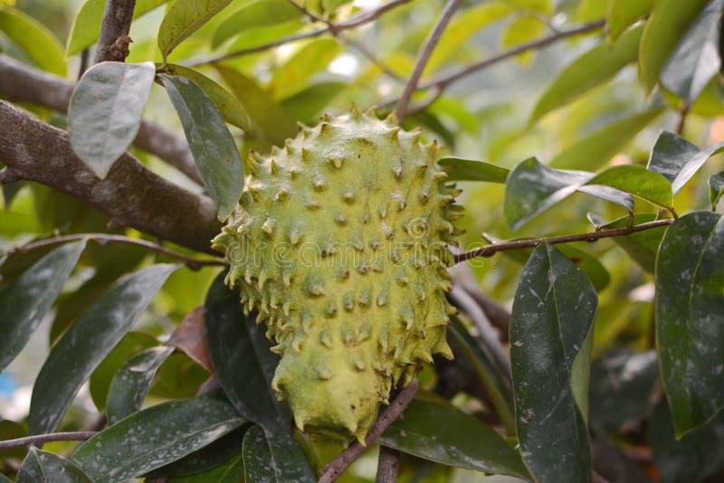 Äpple för Soursop eller för taggig vaniljsås/Soursopfrukt på trädväxten för behandling av carcinoma fotografering för bildbyråer
