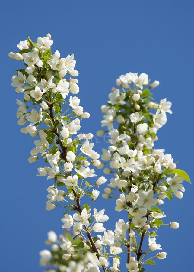 Äpple-tree blommor Vårträdgård - blommande träd äppleblomningclosen blommar upp treen Härligt blomma av äppleträd över blå himmel fotografering för bildbyråer