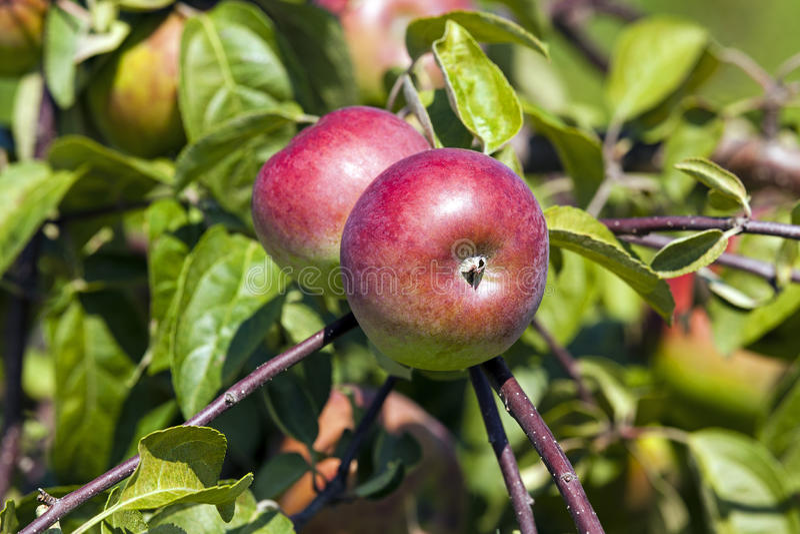 Äpple-tree trädgård royaltyfria foton