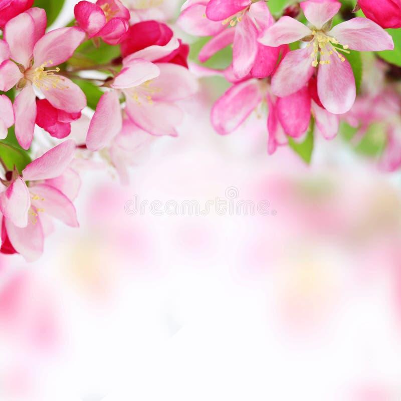 äpplebakgrund blommar den slappa fjädern arkivbild