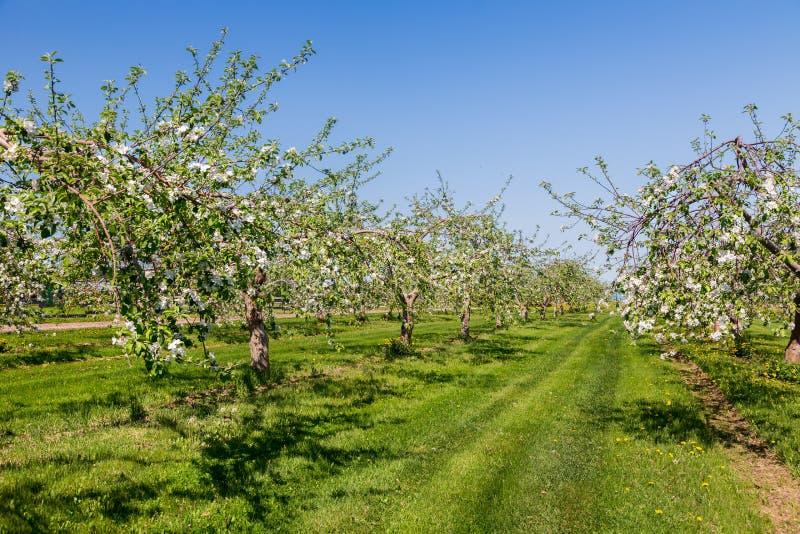 äppleblom blomstrar filialfjädertreen fotografering för bildbyråer