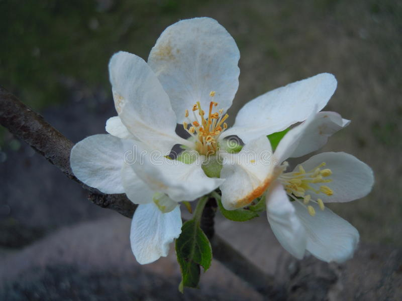 äppleblom blomstrar filialfjädertreen arkivfoton