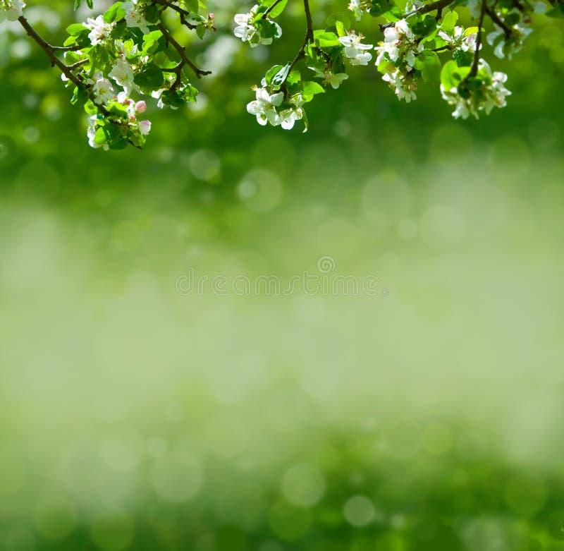 äppleblommor fotografering för bildbyråer