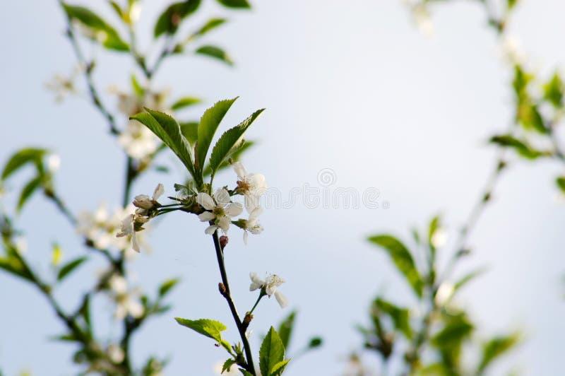 Download äppleblomningar arkivfoto. Bild av springtime, nytt, växa - 240908