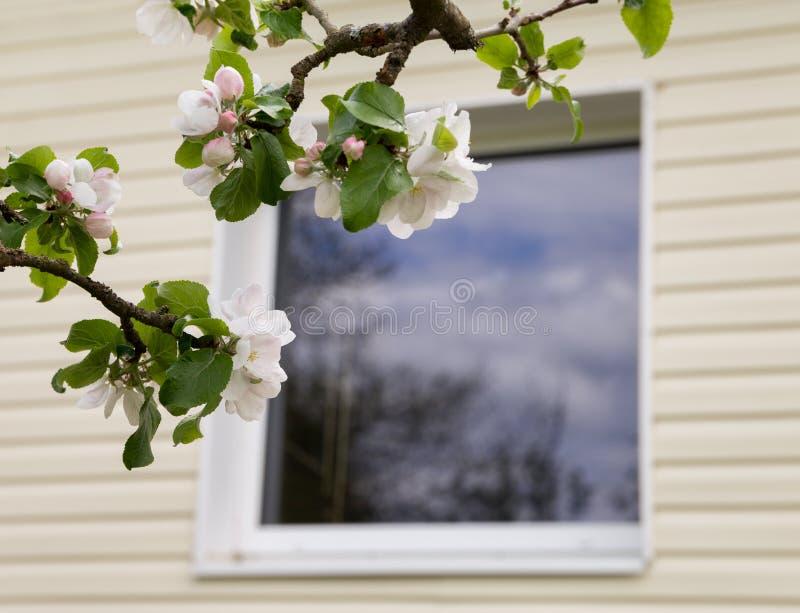 äppleblomningclosen blommar upp treen royaltyfri foto
