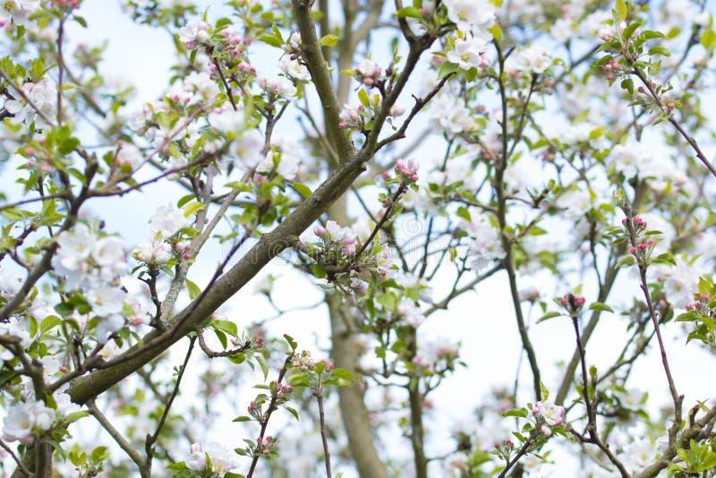 äppleblomningclosen blommar upp treen arkivbilder