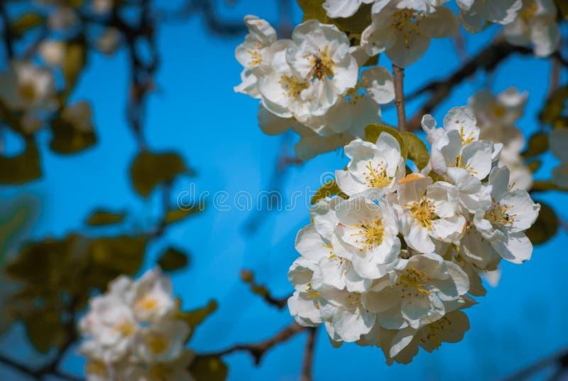 äppleblomningclosen blommar upp treen royaltyfria foton