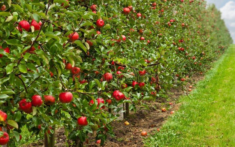 äpplefruktträdgårdred fotografering för bildbyråer