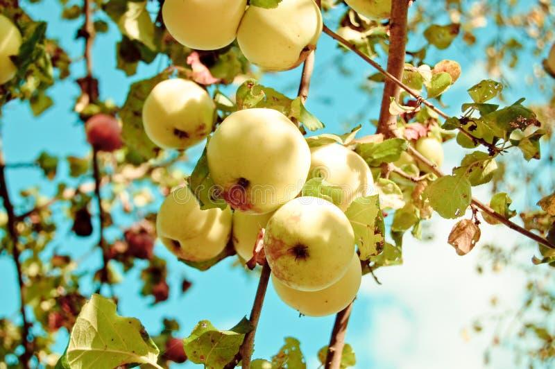 äpplefruktträdgårdtree royaltyfri bild