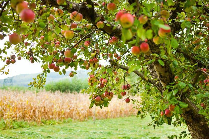 äpplefruktträdgårdtrees royaltyfri fotografi