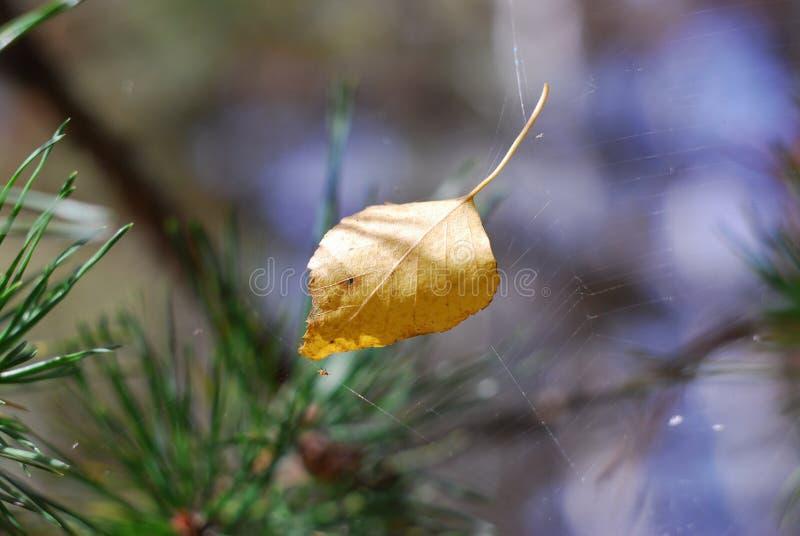 äpplehösten undersöker torra leafs för sammansättning som plundrar vasen royaltyfri foto