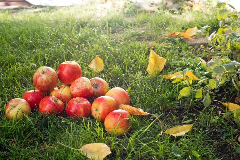 äpplen överhopar red royaltyfri fotografi