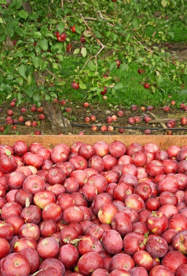 äpplen box nytt valt rött trä arkivfoto