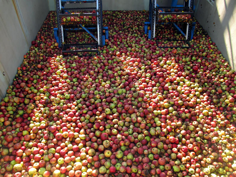 Äpplen för att bearbeta in i fruktsaft i behållaren, innan att göra ren royaltyfria foton