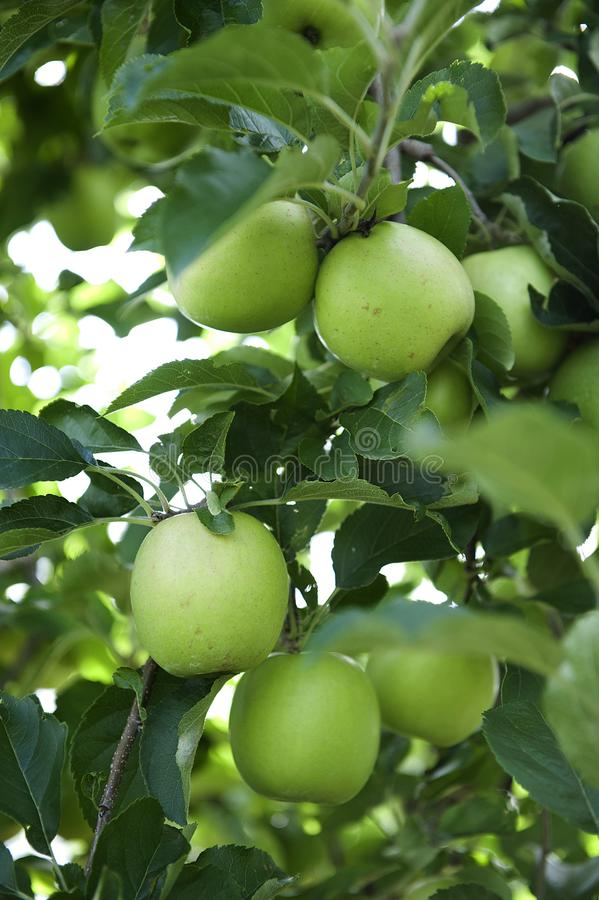 Äpplen för farmorsmed royaltyfri bild