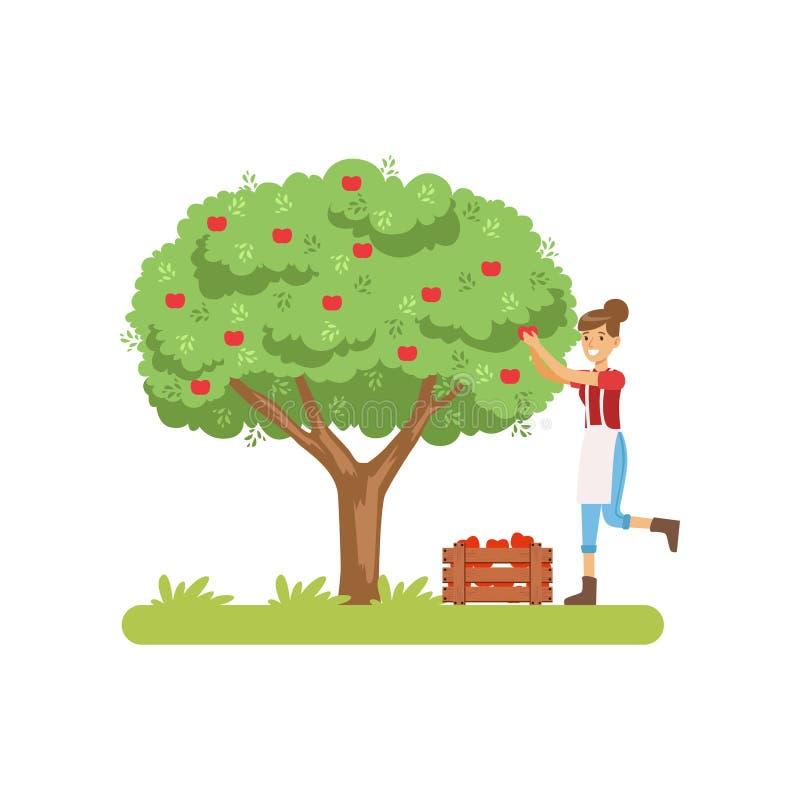 Äpplen för Smilng kvinnaplockning från träd till korgen, illustration för vektor för fruktsaftproduktionsprocessetapp på en vit royaltyfri illustrationer