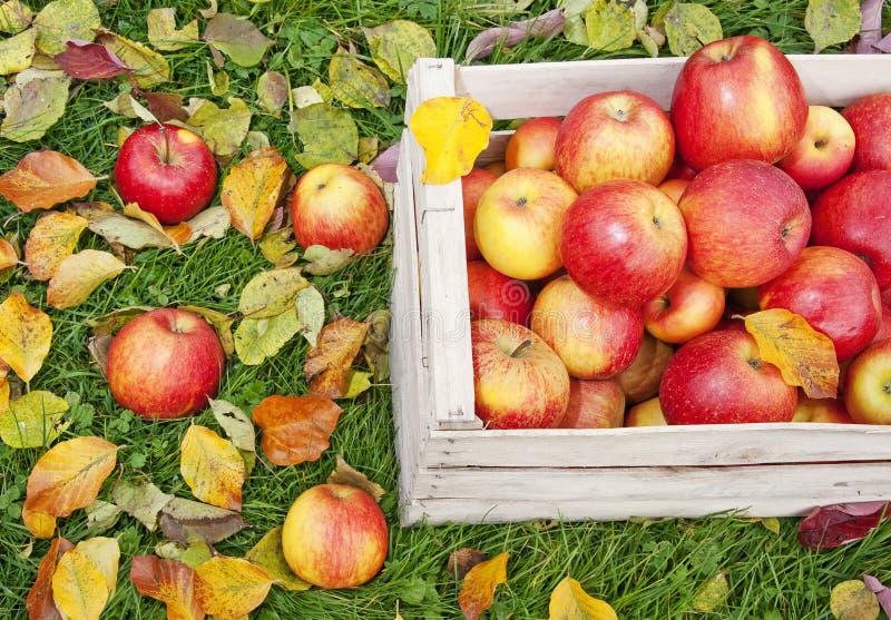 Download Äpplen i en träask arkivfoto. Bild av natur, marknad - 27287760
