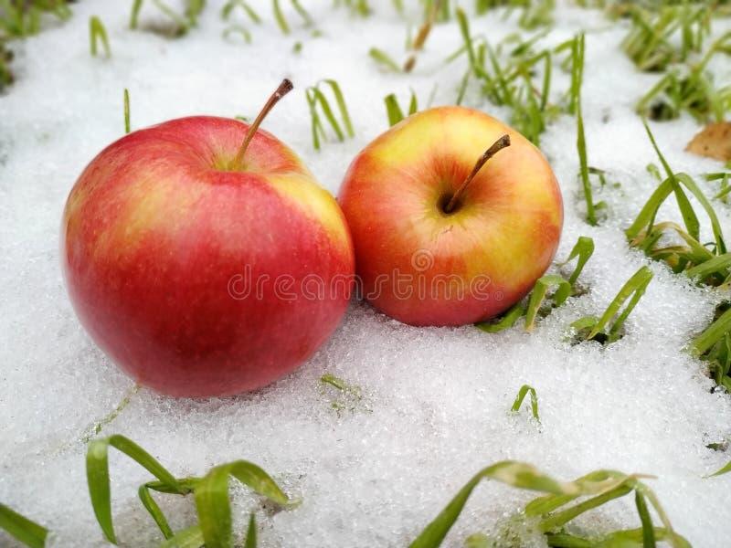 Äpplen i snön royaltyfri foto