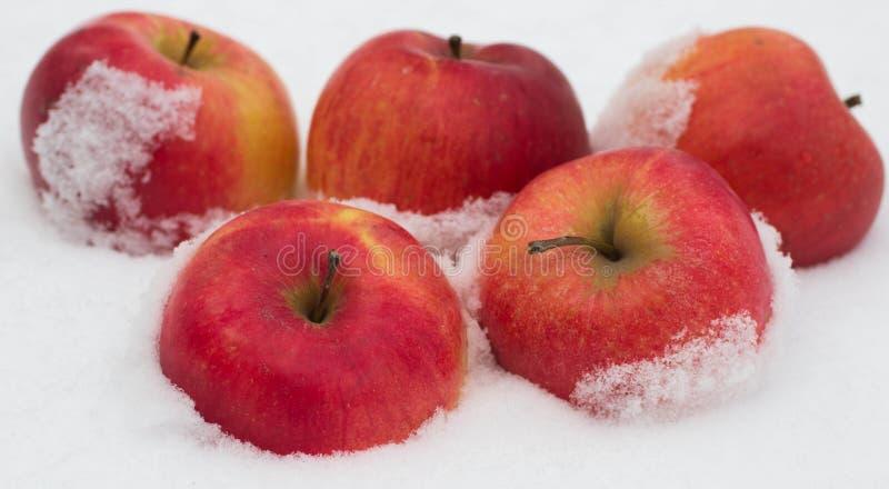 Äpplen i snön arkivbilder