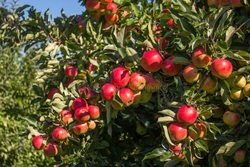 Äpplen i Tree arkivbilder
