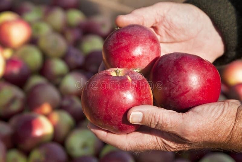 äpplen macintosh royaltyfria foton