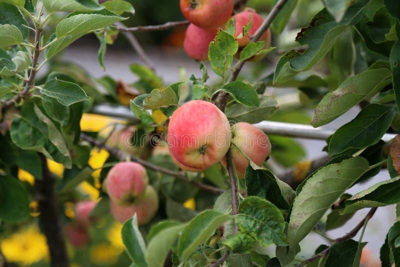 Äpplen mognar på trädfilialer i trädgård fotografering för bildbyråer