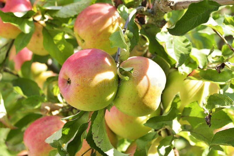Äpplen på äppleträdfilial royaltyfria foton