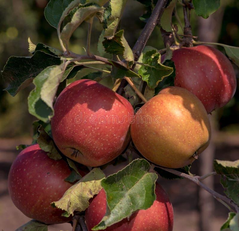 Äpplen på en filial i trädgården, solig dag arkivbild