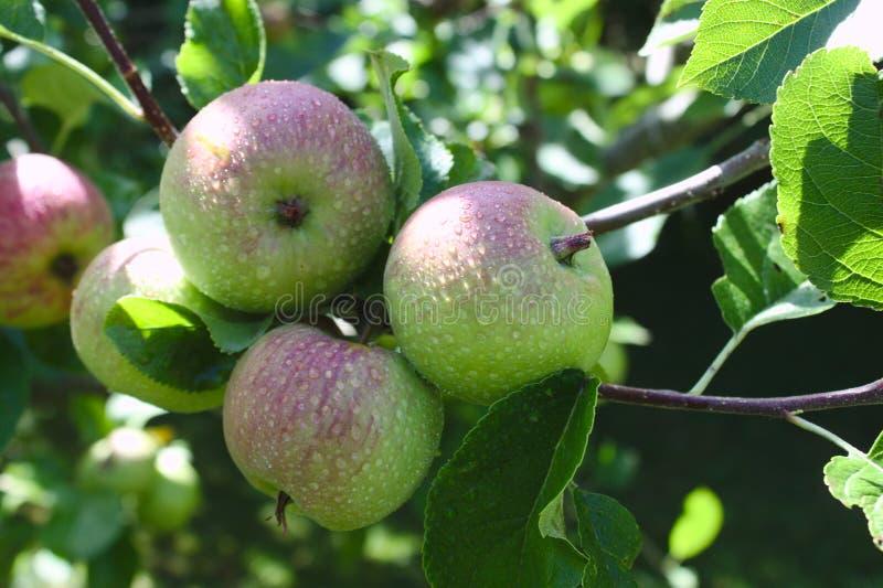 Äpplen på ett äppleträd efter regnet fotografering för bildbyråer