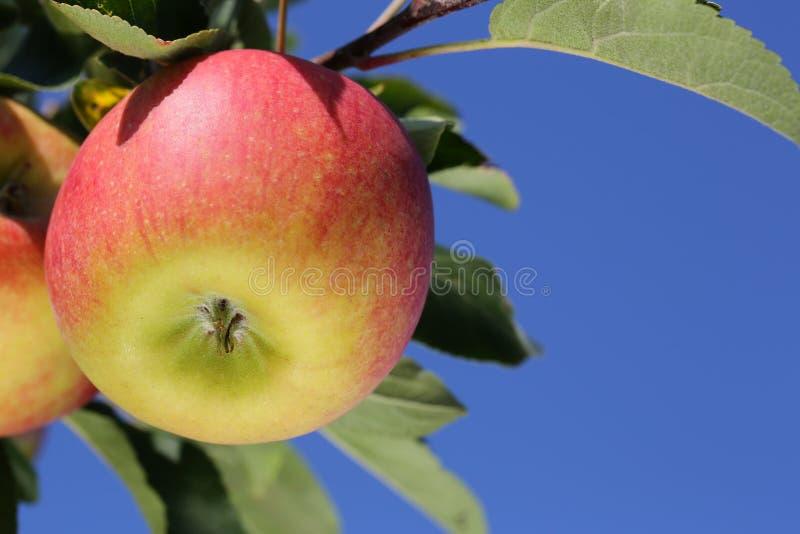Äpplen på ett äppleträd mot en blå himmel royaltyfri fotografi