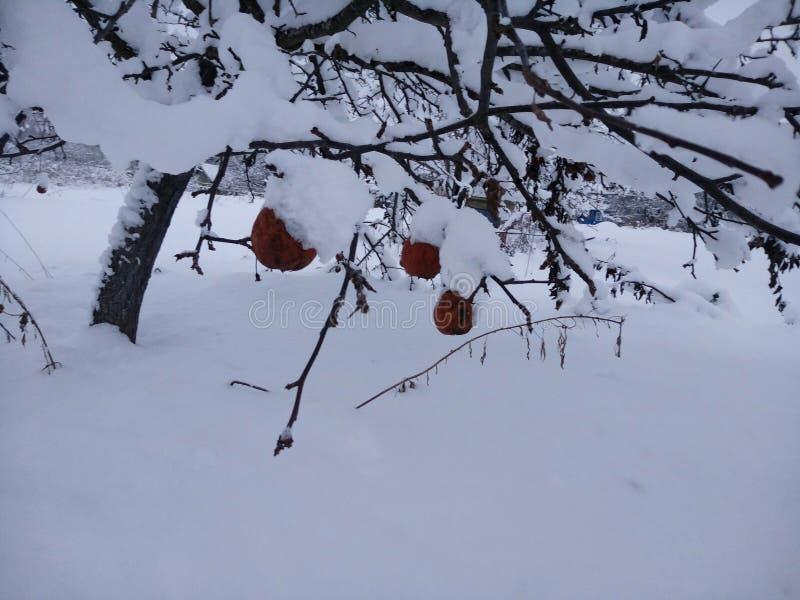 Äpplen på till snow royaltyfria bilder